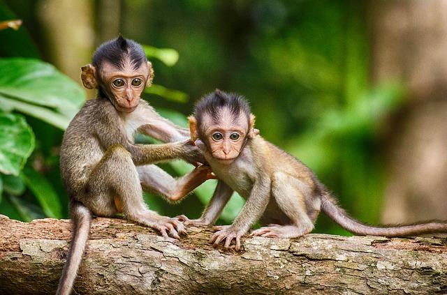 dvě opičky